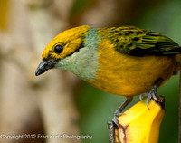 Flame Colored Tanager Female